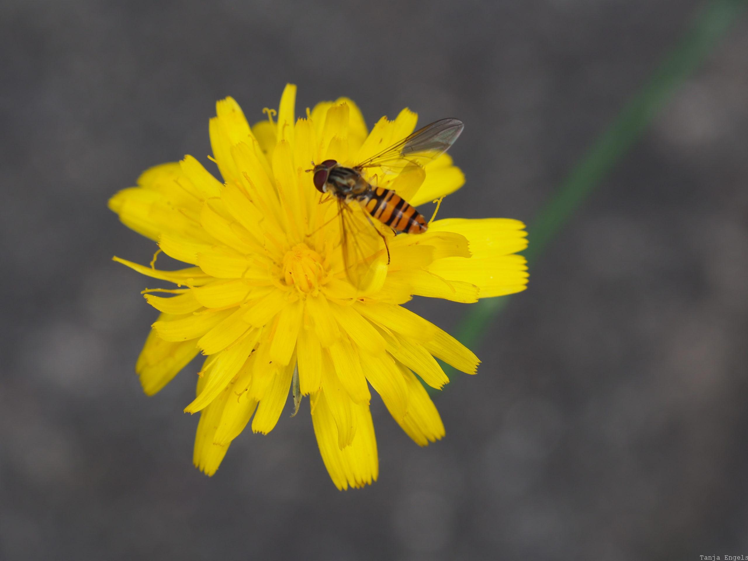 Insekt - LZ